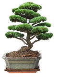 Green bonsai pine tree in pot Stock Images