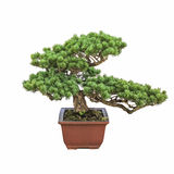 Green bonsai pine tree Royalty Free Stock Photography