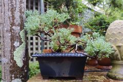 Beautiful Green Bonsai Plant Tree in Pot Plant stock images
