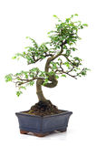 Green bonsai tree Stock Photos