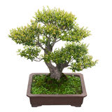 Green bonsai tree Royalty Free Stock Photos