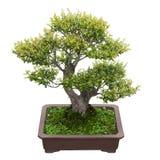 Green bonsai tree Royalty Free Stock Photos