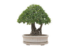 Green bonsai tree Stock Image