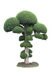Green bonsai tree royalty free stock photo