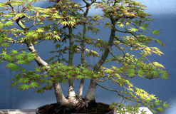 Green bonsai tree Royalty Free Stock Images