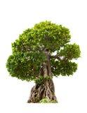 Green bonsai tree of banyan, isolated on white background Royalty Free Stock Photo
