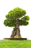 Green bonsai tree of banyan, isolated on white background Royalty Free Stock Photo