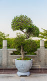 Green bonsai tree Royalty Free Stock Image