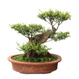 Green bonsai tree of elm Royalty Free Stock Photo