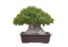 Green bonsai tree Isolated Royalty Free Stock Photo