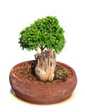 Green bonsai tree isolated Royalty Free Stock Photography