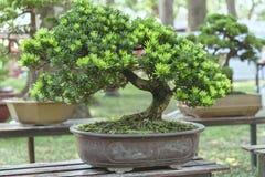 Green bonsai tree in a pot plant Stock Photo