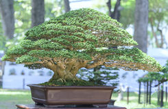 Green bonsai tree in a pot plant Royalty Free Stock Photo