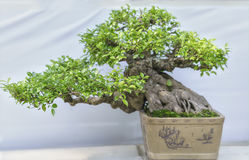 Green bonsai tree in a pot plant Royalty Free Stock Photography
