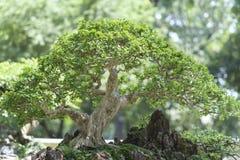 Green bonsai tree in a pot plant Royalty Free Stock Image
