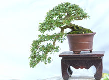 Green bonsai tree in a pot plant Stock Photography