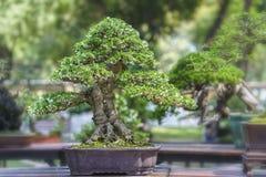 Green bonsai tree in a pot plant Royalty Free Stock Photos