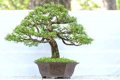 Green bonsai tree in a pot plant Stock Images