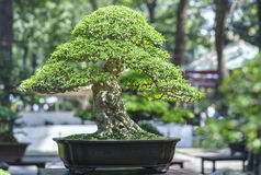 Green bonsai tree in a pot plant Royalty Free Stock Images