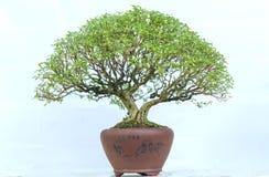 Green bonsai tree in a pot plant Stock Image