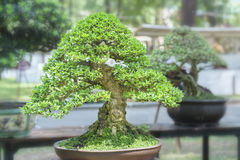 Green bonsai tree in a pot plant Stock Photos