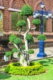 Green bonsai tree Royalty Free Stock Photo