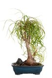 A green bonsai tree Stock Image