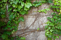 Green Boston Ivy Creeps Up Old Curved Stone Wall royalty free stock images