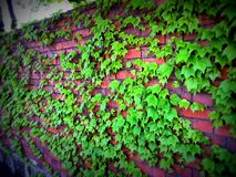 Green Boston Ivy clinging and covering the brick wall in Japan stock photo