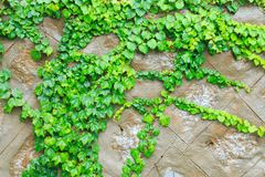 Green boston ivy Royalty Free Stock Images