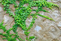 Green boston ivy Stock Images