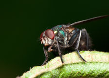 Green Bottle Flies Royalty Free Stock Image