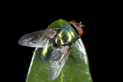 Green bottle fly. A green bottle fly on leaf Royalty Free Stock Photography