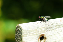 Green Bottle Fly Stock Photo