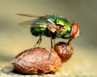 Free Green Bottle Fly Royalty Free Stock Photo - 32560085