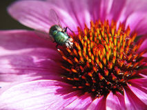 Green bottle fly. A green bottle fly on a flower Royalty Free Stock Photography