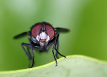 Green Bottle Fly - Anterior View Stock Photography