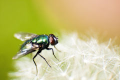 Green bottle fly (Blowfly) - Macro Stock Photography