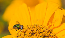 Green Bottle Fly on a Chrysanthemum Royalty Free Stock Photo