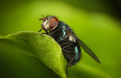 Green bottle fly Royalty Free Stock Photo