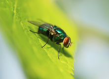 Green bottle fly. Close up of green bottle blow fly on leaf Stock Photography