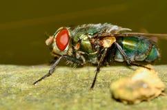 Green Bottle Fly Stock Images