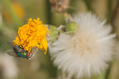 Green Bottle Fly on Dandelion Stock Images