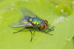 Green bottle fly in dew Royalty Free Stock Photo