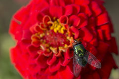 Green bottle fly on a flower Stock Photo