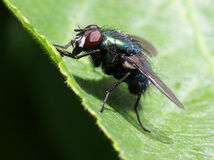 Green Bottle Fly on a Leaf Stock Images