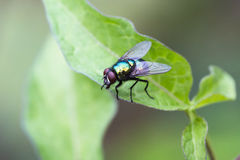 Green Bottle Fly on a leaf Stock Photo