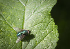 Green Bottle Fly, Lucilia caesar royalty free stock photography