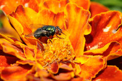 Green bottle fly - Lucilia sericata stock images