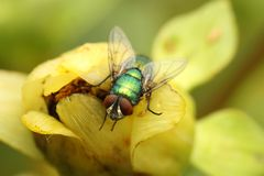 Green Bottle Fly (Lucilia sericata) Stock Images